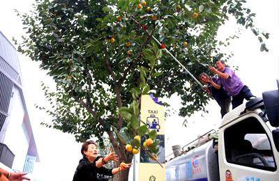 曲江芙蓉南路柿子成熟 集中采摘市民争相免费领