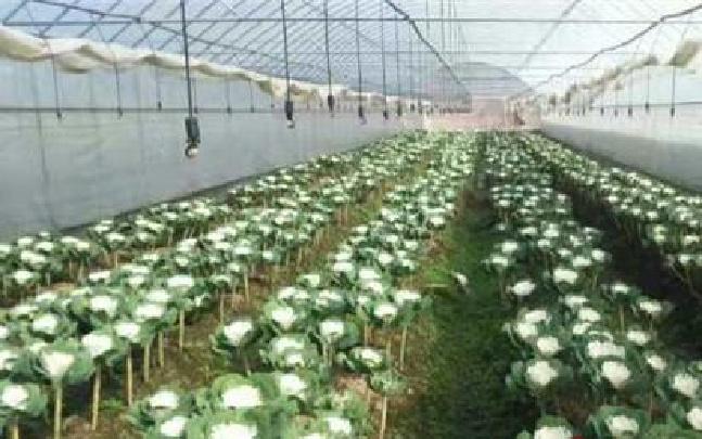 怒江工信委为通甸引进鲜花种植产业成效初显