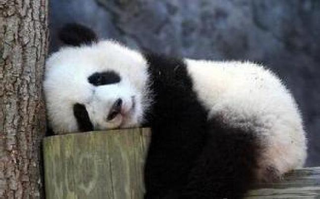 云南野生动物园招募大熊猫志愿者