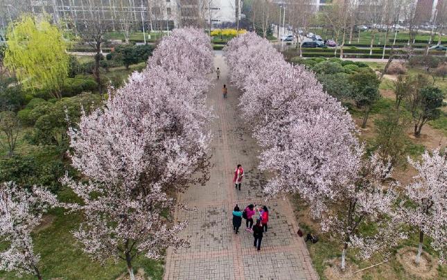 航拍:郑州大学校园花海