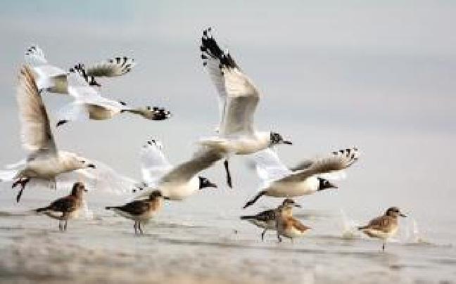 两万水鸟欢聚遗鸥公园 包括濒危物种遗鸥绿翅鸭
