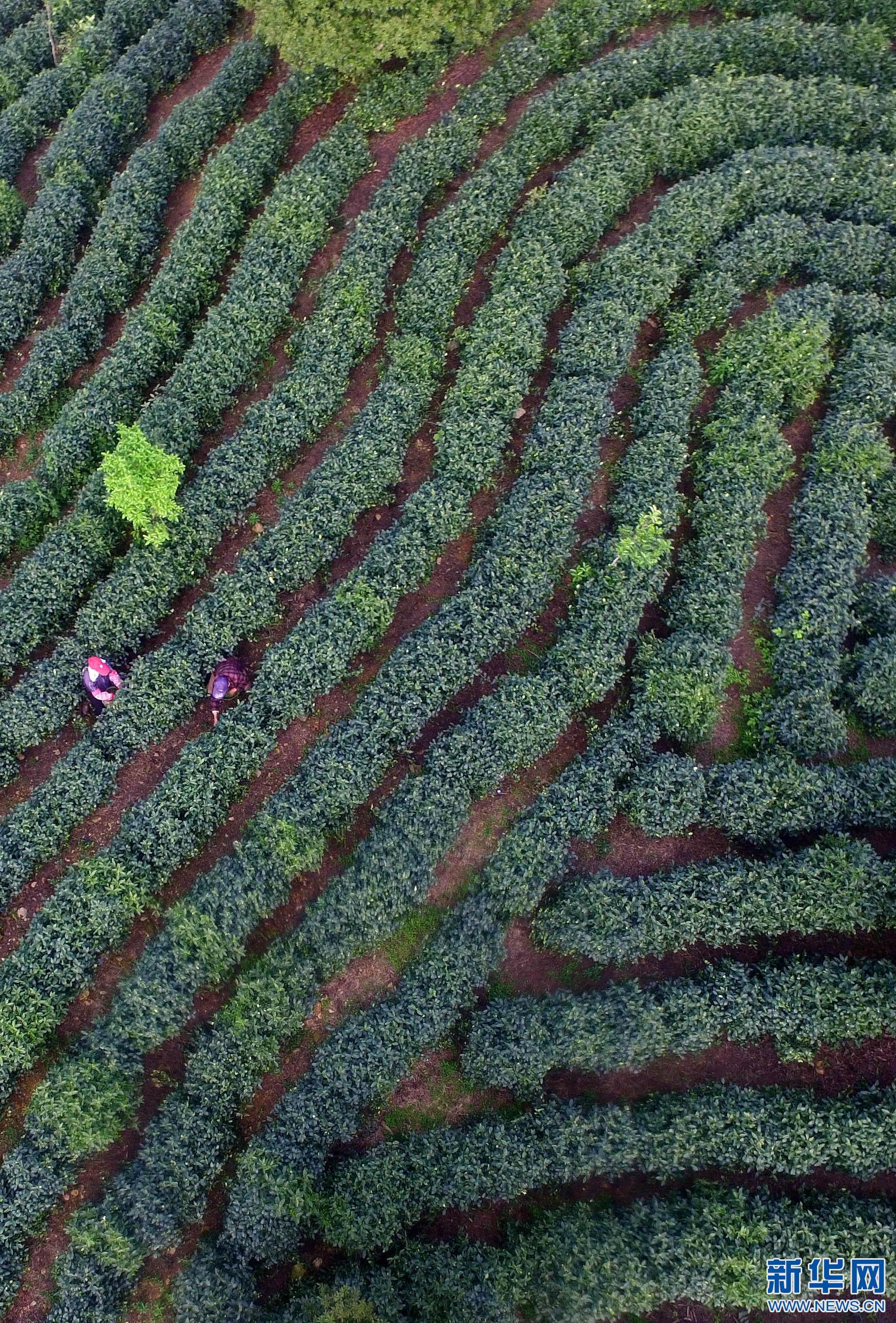 江西靖安:白茶开采