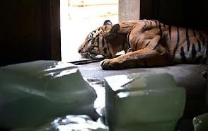 这天气 连老虎都热趴了(图)