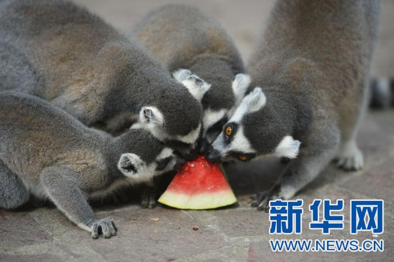 """萌化了!南昌动物园""""猴哥""""吃西瓜避暑"""