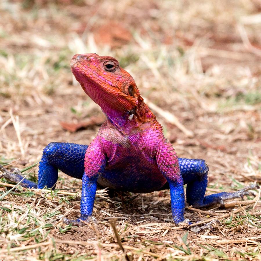 动物中也有超级英雄?肯尼亚蜥蜴酷似蜘蛛侠