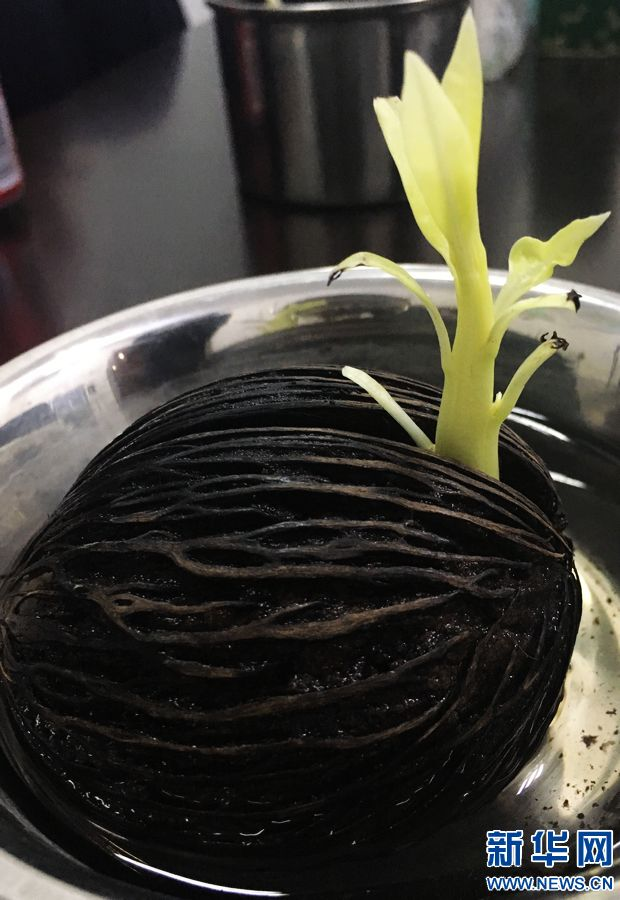 酷似芒果却是穿肠毒药 河南首次截获海檬树种