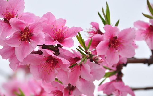 昭通水富将举办第三届桃花文化旅游节
