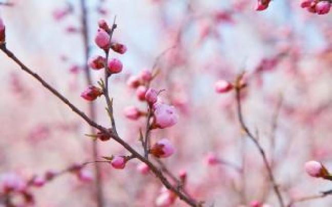 """今年赏桃花""""暂别""""桃花堤 5月初重新对外开放"""
