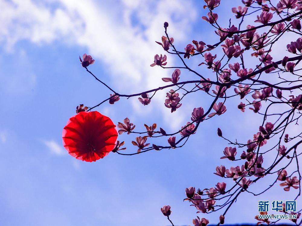 河南鲁山:辛夷花开满树香印度尼西亚潜水岛图片