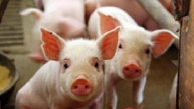 """东港法国猪成了""""招财猪"""""""