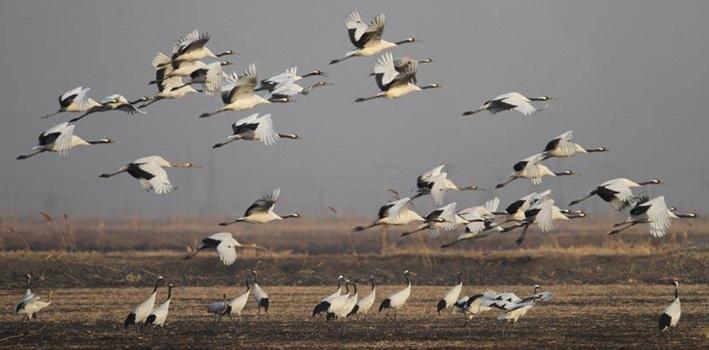 丹顶鹤等珍稀候鸟迁徙北归