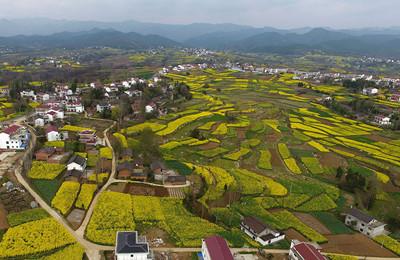 陕西汉中:风过田野菜花黄