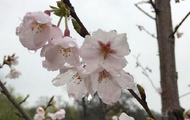 三月采石矶,淋一场樱花雨
