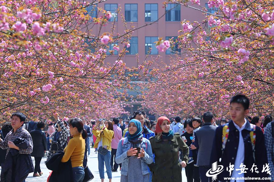 中科大樱花迎来盛放 赏樱游客熙来攘往