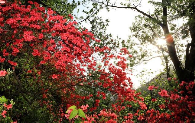 安吉:野生杜鹃漫山红