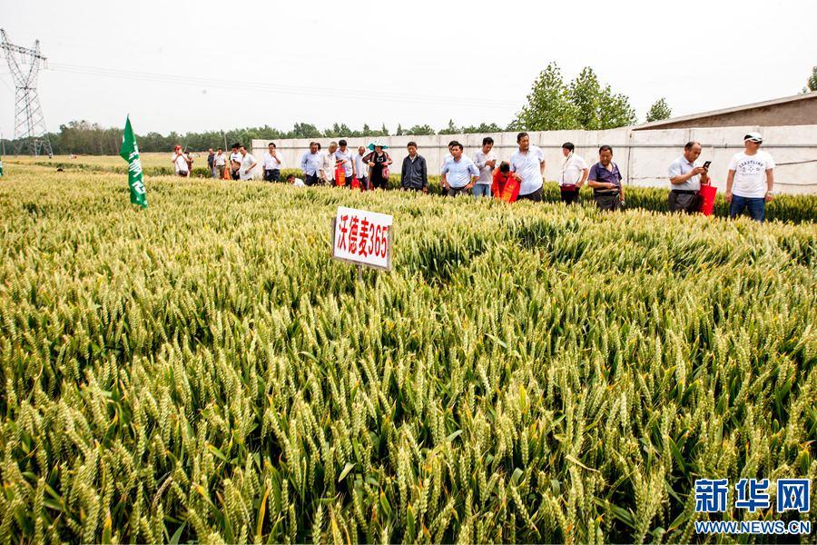 河南滑县:努力打造全国优质小麦种子基地