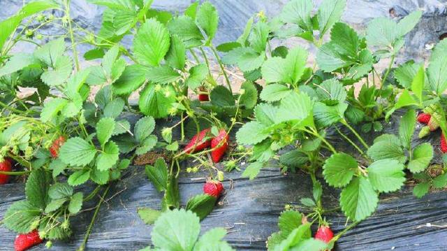 大连金普新区草莓节拉动旅游消费65.1亿元