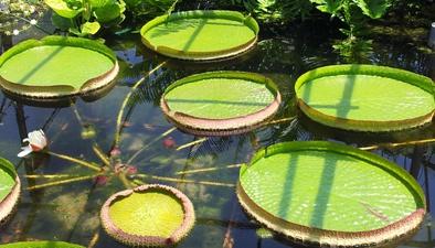 水里的太阳电池板——王莲