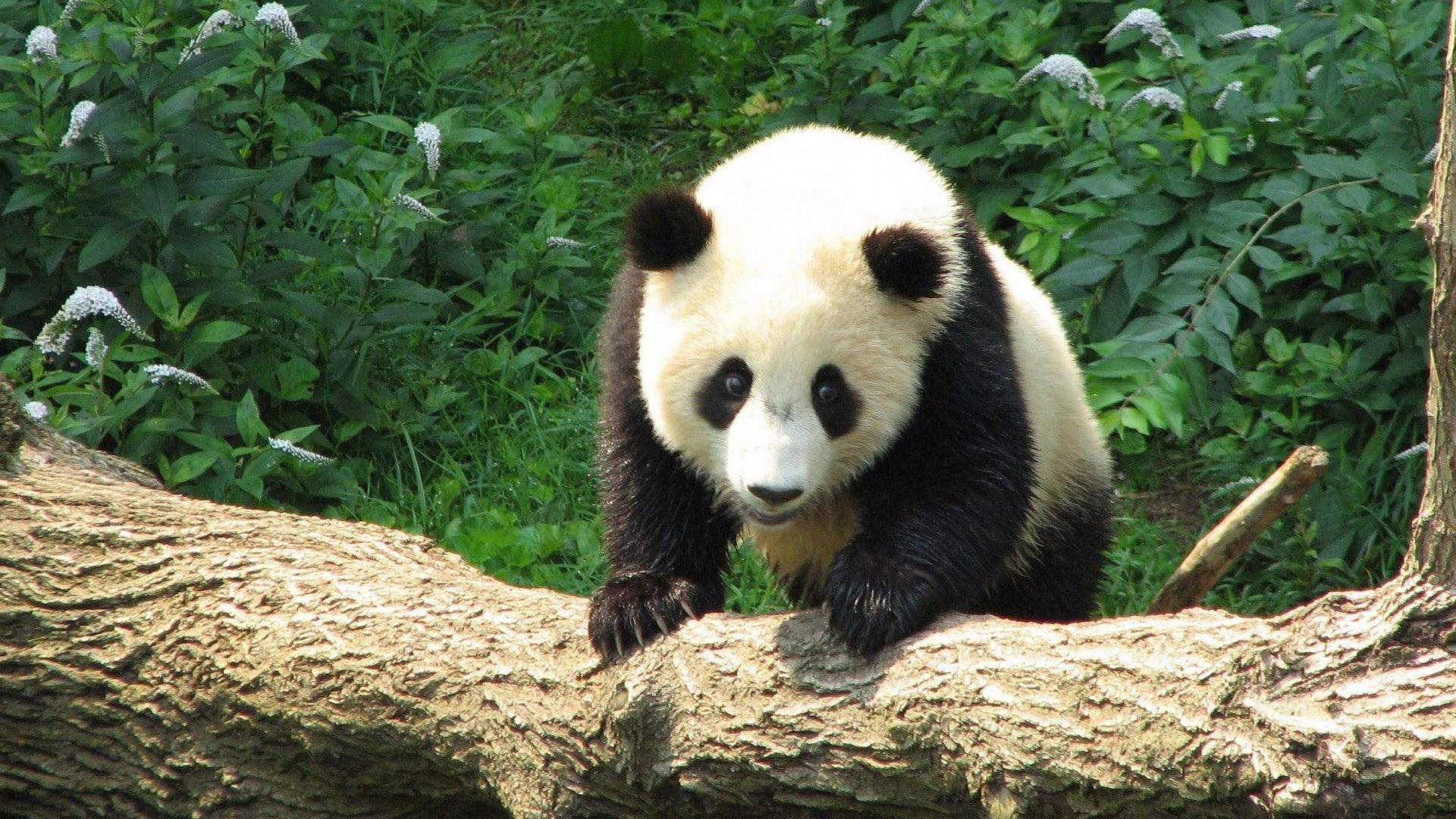 沈阳对熊猫馆门票价格进行听证 熊猫馆拟定门票40元