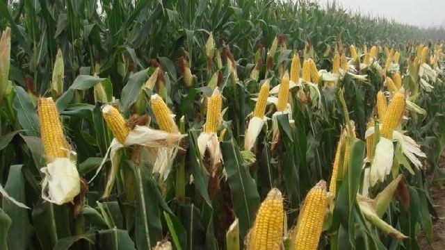 抚顺调减玉米种植面积近3000公顷
