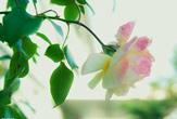 月季已成合肥5月主打花