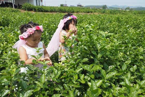 2016年(中国)横县茉莉花文化节