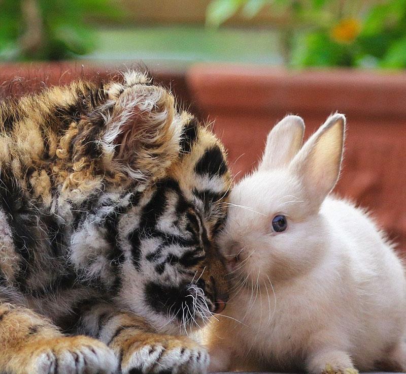 一组拍摄于日本南部大分非洲野生动物园的动物可爱照片被分享到推特上,引来热议。  画面中的一对幼虎幼狮出生于今年年初,如今已长成天真烂漫模样。照片中,老虎、狮子幼崽以及其他小动物亲密无间,互动热烈。它们或心生好奇,或害羞闪躲、或撒娇卖萌,亲昵乖巧,好不欢乐。(环球网综合报道 实习编译:范世欣 审稿:朱盈库)