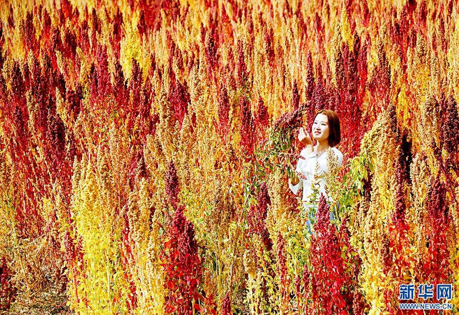 青海:高原藜麦成熟 万紫千红别致景色引人醉