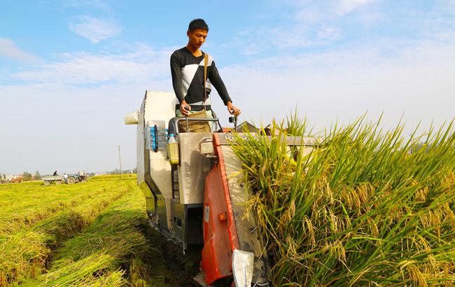 安徽颍上:水稻抢收过半