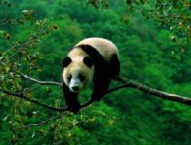 全球首次同时放归两只雌熊猫