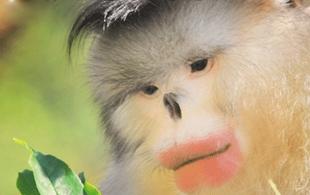 云南大学成功破解金丝猴适应高海拔环境遗传机制