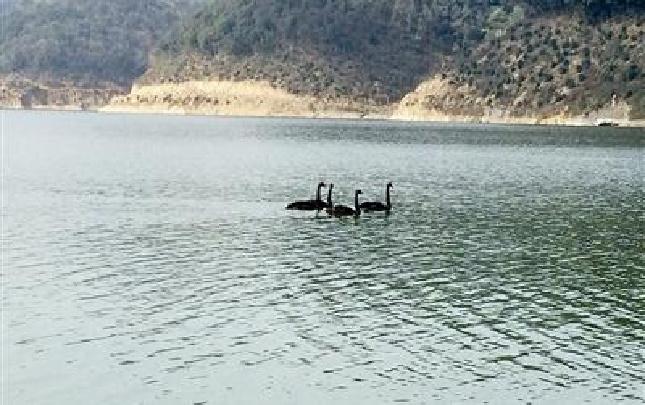 水清自有贵客来 闲林水库首次发现黑天鹅