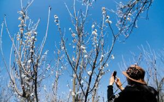 富民赤鹫镇千亩樱桃花盛开