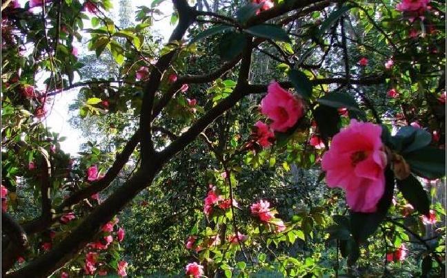 26日去昆明植物园赏茶花听音乐 还可报名参加演出