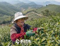 长兴:紫笋茶进入全面盛采期