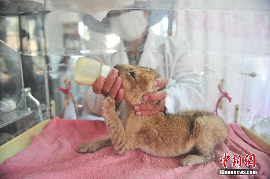 动物园出生了一只可爱的小狮子,由于年纪太小,只能住在育幼中心的保温