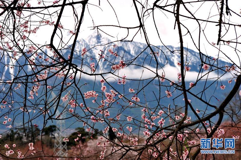 西藏波密桃花红