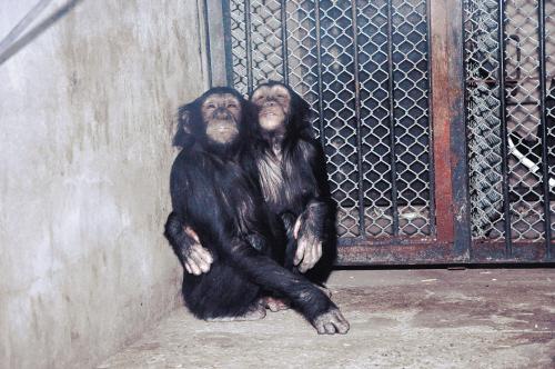 4只黑猩猩在沈阳森林动物园安营扎寨