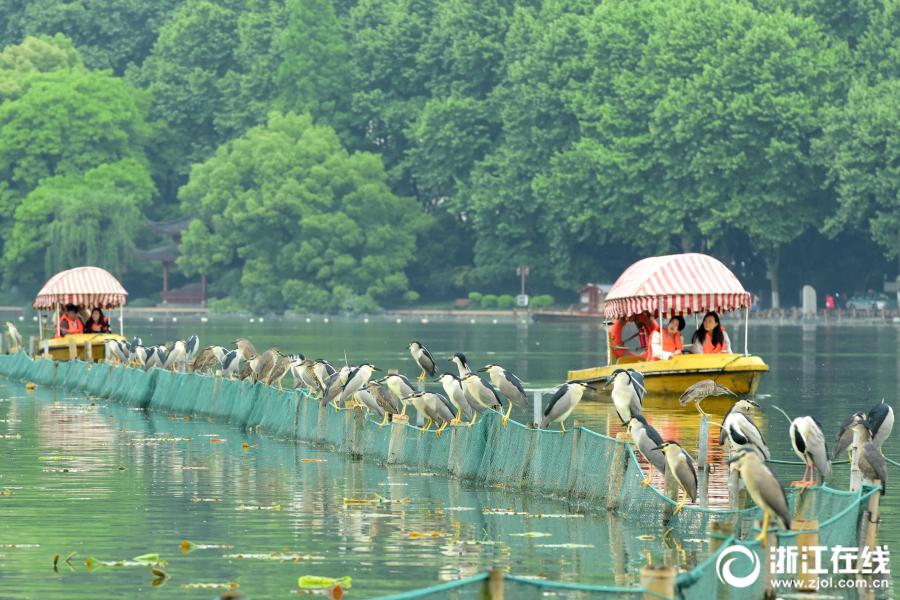 杭州:荷区清塘结束 西湖鹭鸟聚餐
