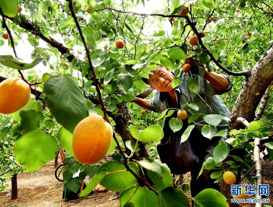 洛阳贡杏丰收 市民采摘享受大自然