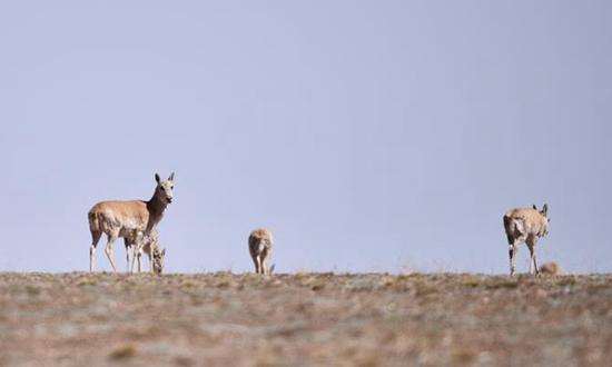 可可西里藏羚羊进入大规模产羔迁徙期
