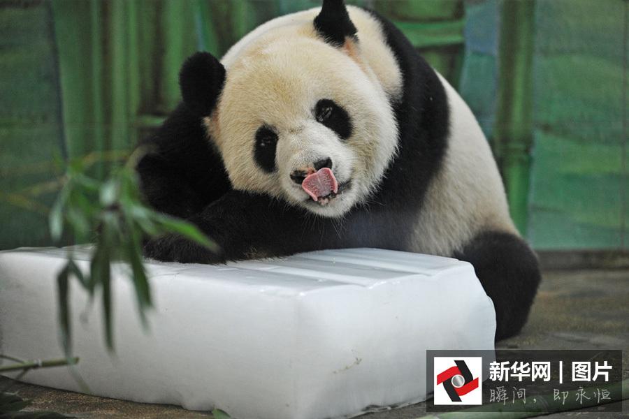 """2016年7月24日,武汉动物园,大熊猫""""伟伟""""趴在冰块上打盹,玩耍,直舔"""