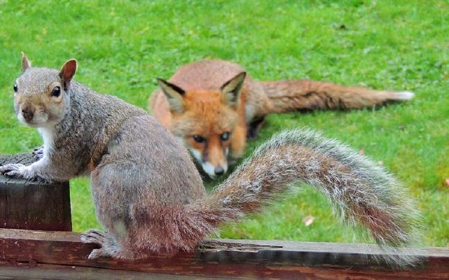 英松鼠被狐狸追踪敲窗求助