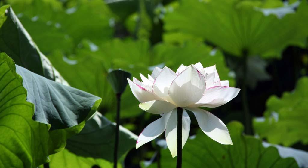 云南:普者黑万亩荷花进入盛花期