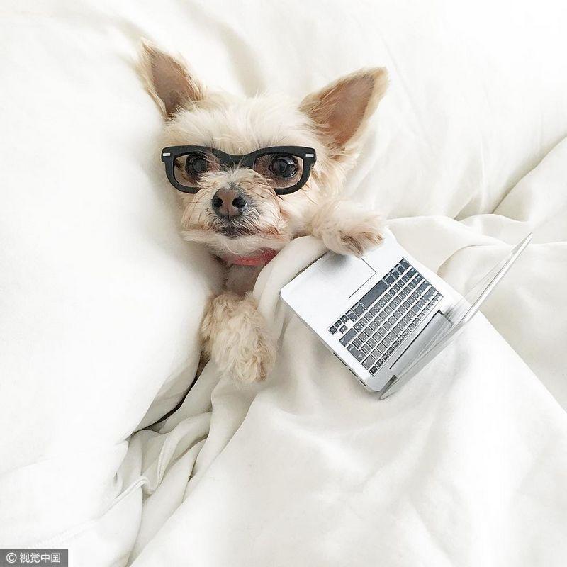 2016年8月24日訊,Ella Bean是美國紐約一只非純種約克夏犬,在它距離被狗場老板執行安樂死還有兩天時,愛狗人士Hilary Sloan將它救了出來。現在,Ella Bean成為社交媒體Instagram上的網紅,總是去世界各地旅行,享用美食,穿著時尚,受到網友的追捧。barcroftmedia/視覺中國