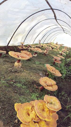 蓟州培育巨型灵芝 观赏可嫁接造型盆景 食用能提高免疫力