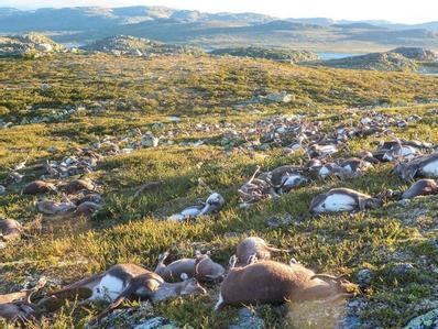 挪威300多头野生驯鹿遭遇雷电袭击
