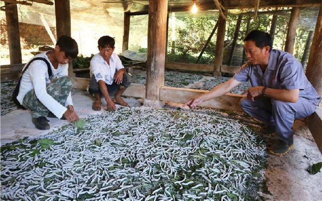 云南陇川:发展蚕桑产业推进精准扶贫