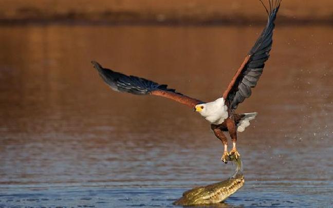 非洲鱼鹰从鳄鱼口中攫取美餐