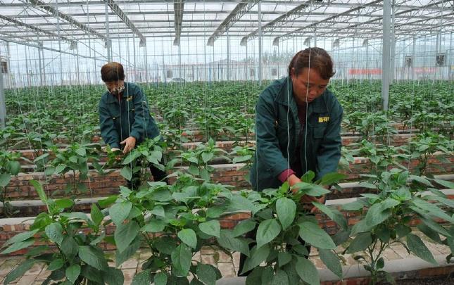 【网络媒体走转改】河南内黄:高效农业助脱贫